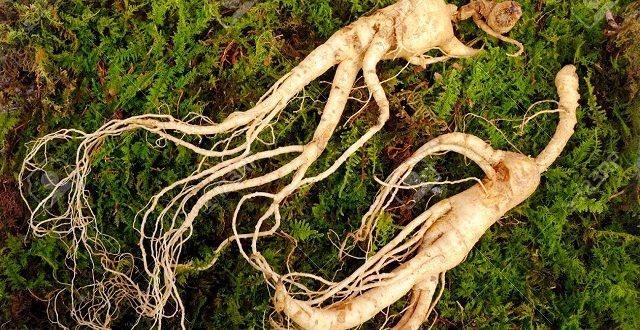 Ginseng (Adamotu) Bitkisinin Faydaları