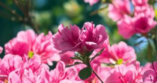 Açelya Çiçeğinin Faydaları