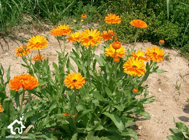 Aynısafa çiçeğinin faydaları