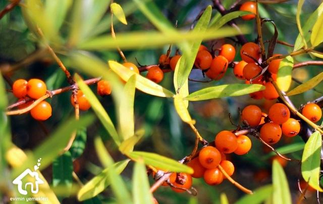 Deniz Cehri Meyvesinin Faydaları