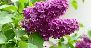 Leylak Çiçeğinin Faydaları