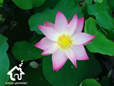 Lotus çiçeğinin faydaları