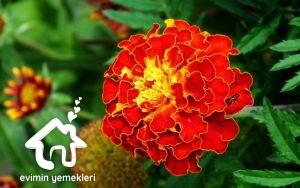 Kadife Çiçeğinin Faydaları