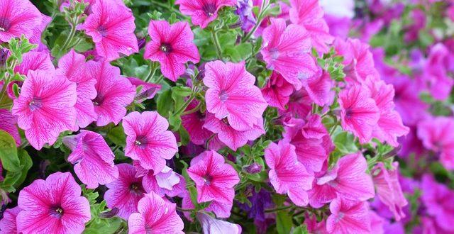 Petunya Çiçeği ve Petunya Bakımı