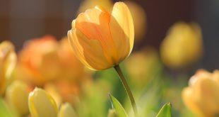 Lale Çiçeğinin Faydaları