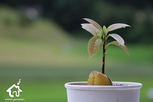saksıda avokado fidanı